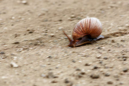 Fast moving Giant land snail crossing a dirt road in Kruger park. Achatina fulica Zdjęcie Seryjne - 98686844