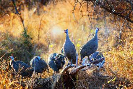 Helmeted guinea fowl calling in the morning, enjoying the warmth of the early winter sun in Kruger National Park. Numida meleagris Zdjęcie Seryjne
