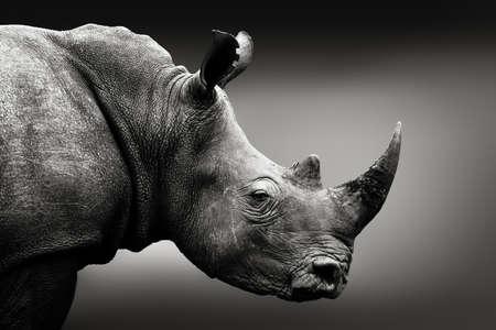 Bardzo zaalarmowany monochromatyczny portret nosorożca. Dzieła sztuki, Republika Południowej Afryki. Ceratotherium simum Zdjęcie Seryjne