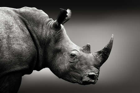 Ritratto monocromatico rinoceronte altamente avvisato. Arte, Sudafrica. Ceratotherium simum Archivio Fotografico