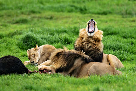 Lions at a kill, feeding and some relaxing and yawning during summer. Panthera leo Zdjęcie Seryjne