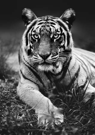 Low angel Bengal tiger close up with the animal staring at the camera black and white. Panthera tigris