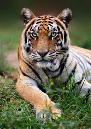 Low angel Bengal tiger close up with the animal staring at the camera.  Panthera tigris
