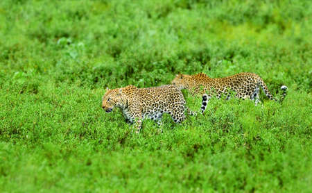 Male and female leopard walking in lush grass. Kruger National Park. Panthera pardus