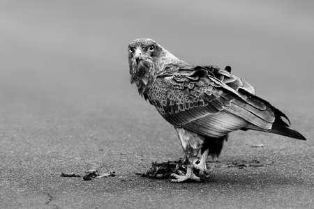 Monochrome Bateleur eagle feeding on tortoise Zdjęcie Seryjne