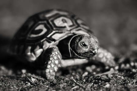 Black and white image of a newly hatched Leopard tortoise, close-up while mobile. Stigmochelys pardalis Zdjęcie Seryjne
