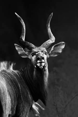 Nyala bull staring into my camera with pride at close range transformed into a monochrome image. Tragelaphus angasii Zdjęcie Seryjne