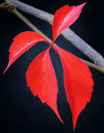 Close-up of a single red leaf during Autumn, showing its beauty and vibrance. Zdjęcie Seryjne