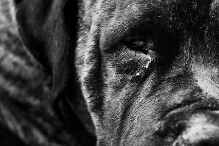 Sad monochrome domestic adult dog close-up
