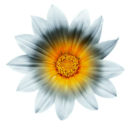 Artistic renditions of a single flower, Gazania rigens