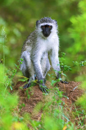 Wet Vervet monkey resting on a termite mount just after refreshing rain in Kruger Park. Chlorocebus pygerythrus
