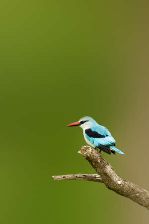 Adult Woodlands kingfisher perched on a branch, lots of copy space. Halcyon senegalensis Zdjęcie Seryjne