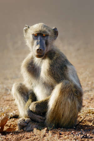 Young baboon relaxing in the cool morning sunrise, Kruger National Park Zdjęcie Seryjne