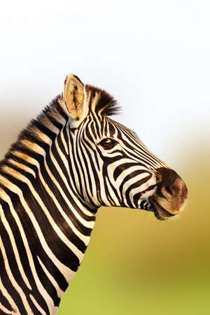 Zebra portrait in soft golden sunlight with an upright posture. Equus quagga. Kruger National Park