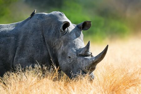 White rhinoceros or rhino bull portrait , highly focused and alerted in tall golden grass. Kruger National Park. Ceratotherium simum
