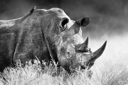 White rhinoceros, rhino bull portrait , highly focused and alerted in tall grass. Black and white. Ceratotherium simum Zdjęcie Seryjne - 149761669
