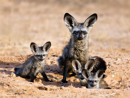 Bat-eared fox family portrait in the kgalagadi Transfrontier park. Otocyon megalotis Zdjęcie Seryjne