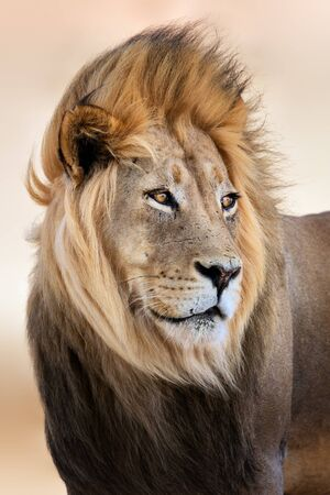 Big male lion portrait with wind blowing its hair. Panthera leo