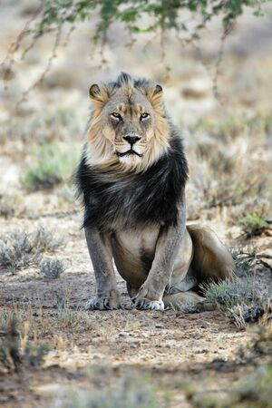 Black maned male lion resting under a tree in the Kgalagadi, South Africa. Panthera leo