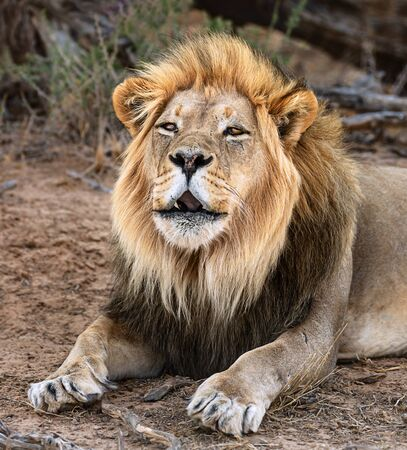 Black maned male lion roaring during the daytime in the Kgalagadi while resting. Panthera leo