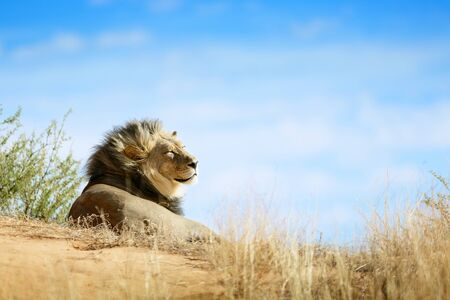 Lion, Panthera leo, black maned male portrait relaxing and sunbathing on a sand dune in the Kgalagadi desert.