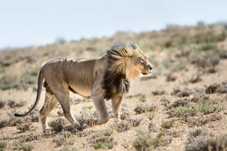 Magnificent male lion walking highly focused with the wind in its face. Kgalagadi Transfrontier Park Zdjęcie Seryjne