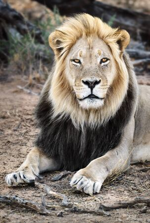 Male black maned Lion portrait close-up highly focused making eye contact with long hair. Panthera leo, Kgalagadi Park Zdjęcie Seryjne