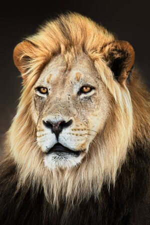Male lion close up portrait fully alerted and focused. Fine art. Panthera leo