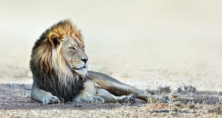 Male lion portrait resting in the shade staring into the distance. Kgalagadi Park. Panthera leo Imagens
