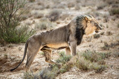 Male lion walking highly focused across the Kgalagadi desert directly into the wind. Panthera leo Zdjęcie Seryjne