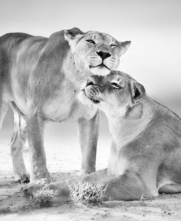 Two female lions having an affectionate moment. Black and white. Panthera leo. Kgalagadi Zdjęcie Seryjne