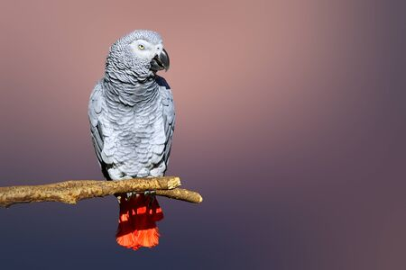 Congo African Grey parrot portrait isolated and perched with a blurred background. Psittacus erithacus