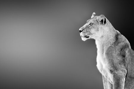 Female lion ( lioness) portrait highly alerted staring into the distance with copy, text space. Black and white. Kgalagadi. Panthera leo Zdjęcie Seryjne