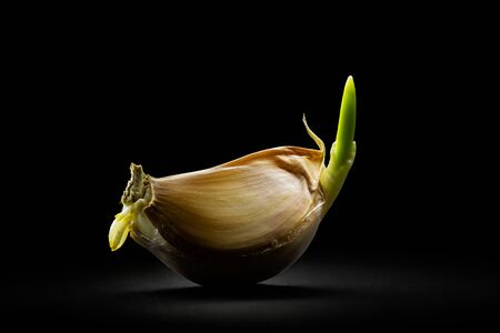 Fresh garlic clove close-up with soft light on a dark background. Fine art.