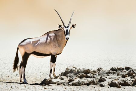 Gemsbok portrait in the desert, standing proud. Oryx gazella Zdjęcie Seryjne