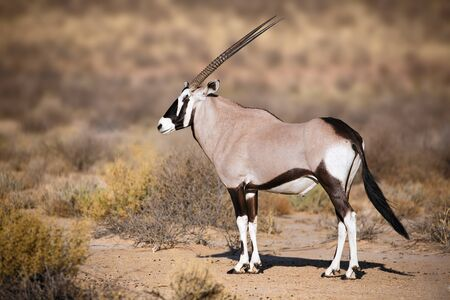 Gemsbok portrait in the Kgalagadi Park South Africa, Oryx gazella
