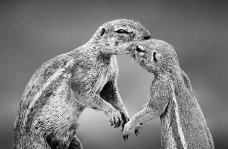 Ground squirrels having an affectionate moment in the Kgalagadi. Black and white. Xerus inauris Zdjęcie Seryjne - 149936557