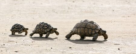 Leopard tortoises walking in a line from big to small in the Kalahari desert. South Africa. Stigmochelys pardalis
