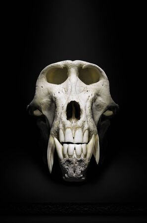 Male Baboon skull or skeleton frontal close-up view in a dramatic dark mood. Fine art. Papio ursinus