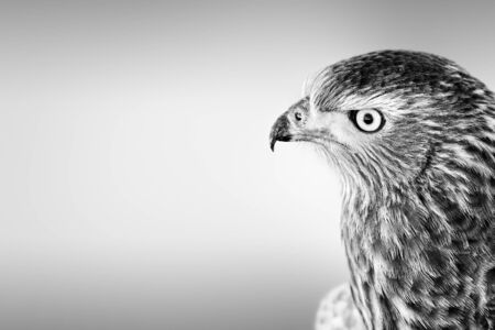 Pale Chanting Goshawk facial portrait close-up in black and white with copy space from the Kgalagadi. Melierax canorus