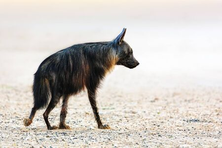 Single Brown hyena side view walking in the Kgalagadi desert. Hyaena brunnea, South Africa Zdjęcie Seryjne