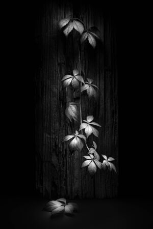 Still life setup with leaves on a dark background in black and white. Representing calmness and life Zdjęcie Seryjne - 149791087