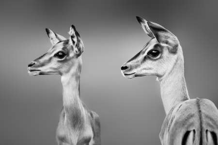 Impala close-up portrait in black and white. Sub-adults. Highly focused. Aepyceros melampus Zdjęcie Seryjne