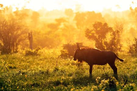 Blue wildebeest enjoying the golden sunrise in Kruger National Park with dramatic back-light. Connochaetes taurinus