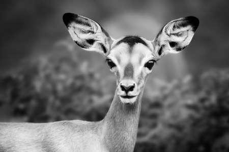 Impala close-up portrait in black and white. Sub-adult. Aepyceros melampus