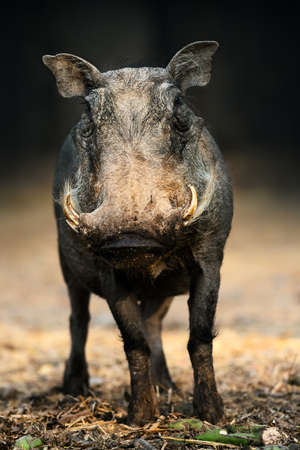 Warthog portrait facing the camera at a low level with a clean dark background and golden soft light illuminating its face. Phacochoerus africanus Zdjęcie Seryjne