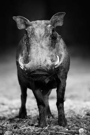 Warthog portrait in black and white facing the camera at a low level with a clean dark background. Phacochoerus africanus