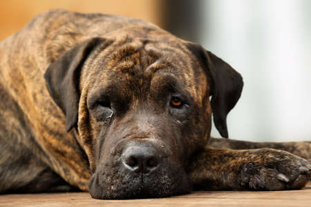 Adult large brown domestic dog resting with one eye open. Stock