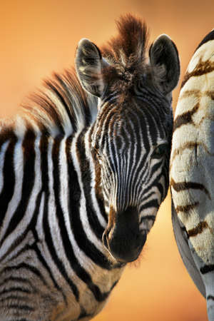 Zebra foal close-up standing close to the female having a tender moment and showing affection with warm beautiful light enhancing the mood. Equus quagga Zdjęcie Seryjne