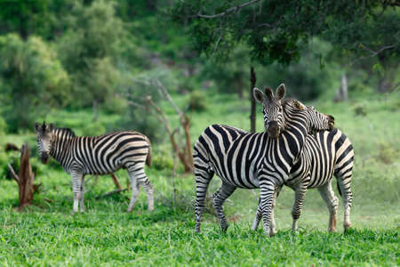 Two zebra stallions engage into a territorial fight during lush green summer in Kruger Park with another zebra looking at it. Equus quagga